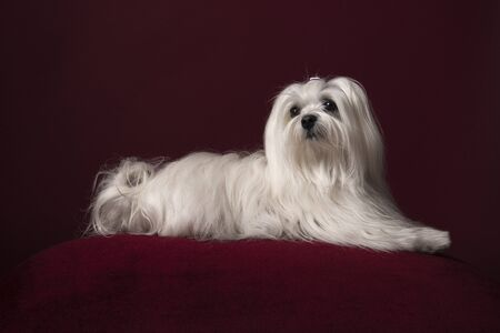 Pretty longhaired Maltese dog lying on a burgundy red cushion on a burgundy red background in a classic look Stockfoto