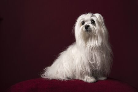 Pretty longhaired Maltese dog sitting on a burgundy red cushion on a burgundy red background in a classic look