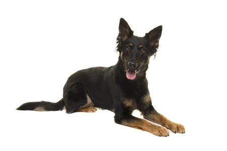 Bohemian shepherd lying down looking at the camera isolated on a white background