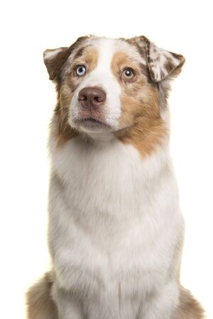 Portrait of a pretty Australian Shepherd looking up isolated on a white background Imagens