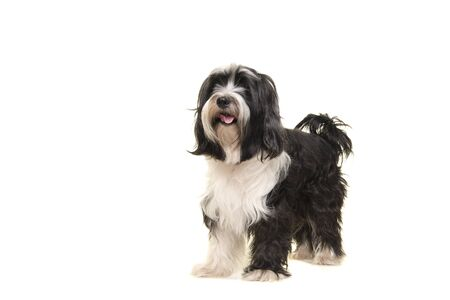 Tibetan terrier standing isolated on a white background
