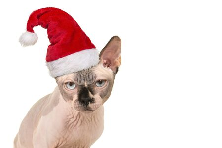 Portrait of a grumpy looking sphinx cat wearing santa's hat for christmas on a white background Imagens