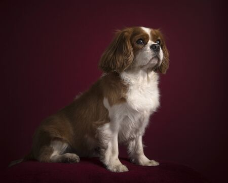 Cavalier King Charles spaniel sitting in a classic luxury burgundy red background