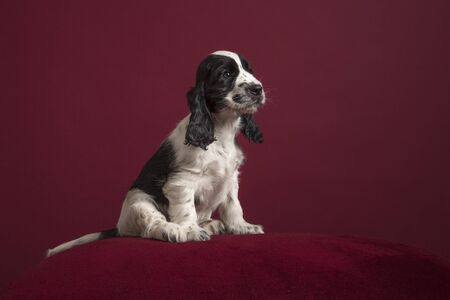 Cocker spaniel puppy , sitting on a classic luxury burgundy red background