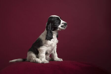 Black and white Cocker spaniel puppy , sitting on a classic luxury burgundy red background seen from the side
