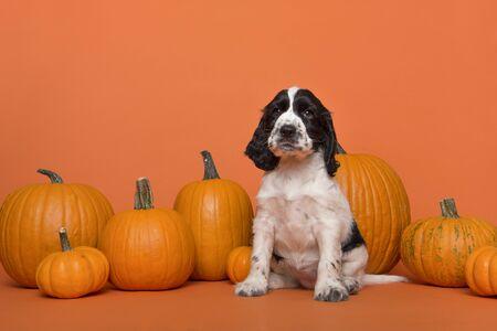 Cute Cocker Spaniel dog puppy sitting between orange pumpkins on an orange background