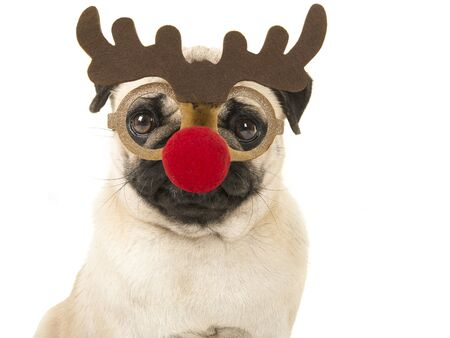 Portrait of a blond pug with rudolf raindeer glasses on a white background Stock Photo