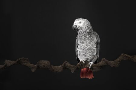 Gabon African grey parrot on a black background with space for copy seen from the front