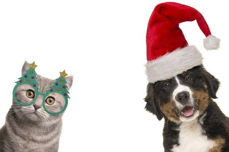 Portrait of a cute bernese mountain dog puppy and a british shorthair cat wearing christmas decoration on a white background