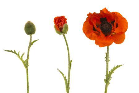 Flor de amapola en tres etapas, desde el capullo hasta la flor aislada sobre un fondo blanco.