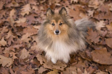 Shetland sheepdog dog looking up sitting between autumn leafs in a forest lane
