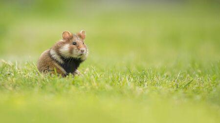 Adorabile criceto dal ventre nero in piedi in un campo di erba verde