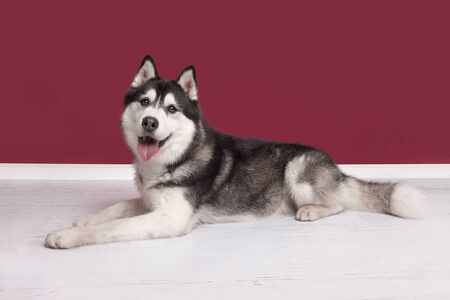 Siberian husky looking at the camera lying on the floor on a burgundy red living room setting seen from the side Stockfoto