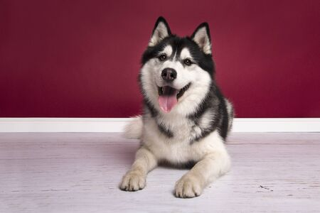 Siberian husky looking at the camera lying on the floor on a burgundy red living room setting