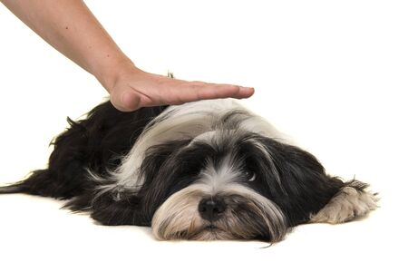 Tibetan terrier lying down on the floor being commanded by a hand to stay down isolated on a white background