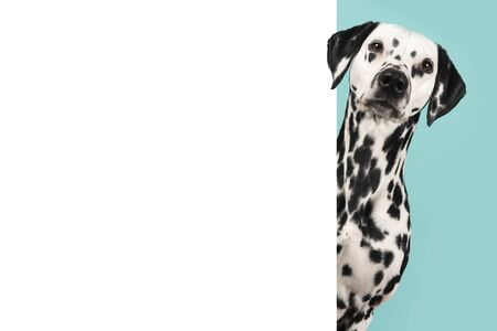 Portrait of a pretty dalmatian dog looking around the corner of a white empty board with space for copy Reklamní fotografie