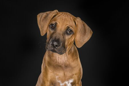 Portrait of a Rhodesian Ridgeback puppy looking at the camera at a black background