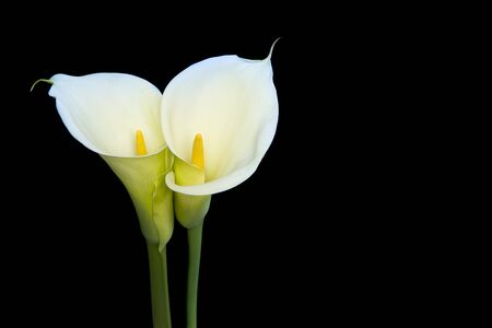 Two blooming calla lilly flowers on a black background with copy space