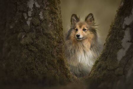 Shetland sheepdog in a forest behind a tree Stockfoto
