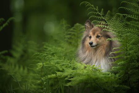 Shetland sheepdog dog in a forest between green fern leafs