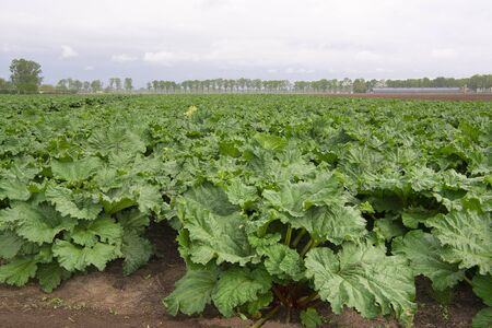 Agricultural field with rhubarb plants