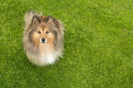 Shetland sheepdog sitting on green grass looking up to the camera with space for copy