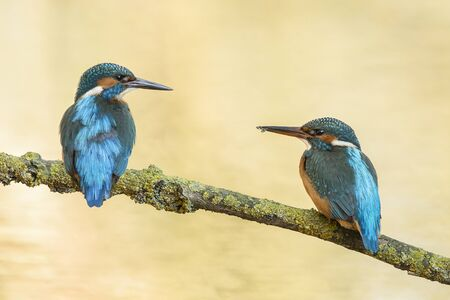 Couple of blue european kingfisher birds resting on a branch looking at each other