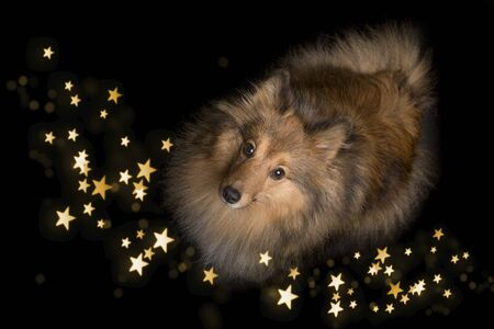 Shetland sheepdog looking up on a black background with star shaped lights Stockfoto