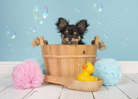 Cute chihuahua puppy in a wooden sauna bucket in a bathroom with soap bubbles on a blue background Stockfoto
