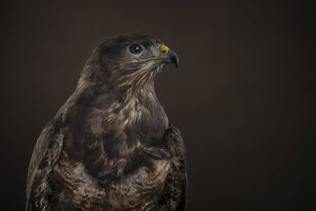 Studio portrait of a Harris Hawk seen from the side againt a brown background