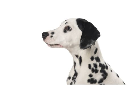 Dalmatian dog portrait seen from the side isolated on a white background