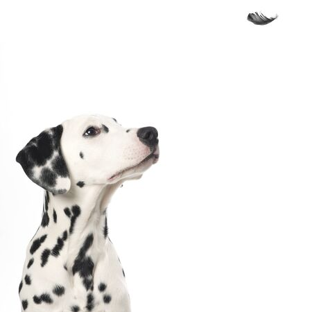 Portrait of a dalmatian dog looking up at a flying feather on a white background