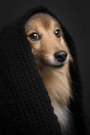 Portrait of a shetland sheepdog looking at the camera wearing a black scarf on a black background