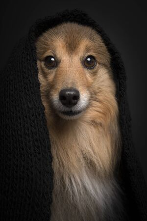 Portrait of a shetland sheepdog wearing a black scarf on a black background