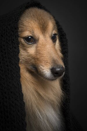 Portrait of a shetland sheepdog looking away wearing a black scarf on a black background