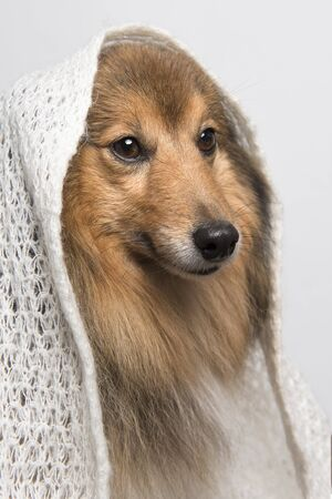 Portrait of a shetland sheepdog looking away wearing a white scarf on a white background