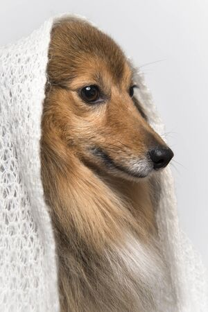 Portrait of a shetland sheepdog seen from the side wearing a white scarf on a white background