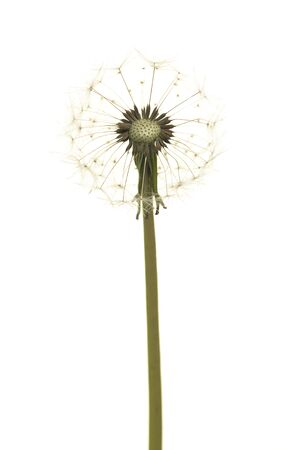 Dandelion blowball on a white background