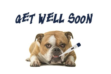 English bulldog looking at the camera with a thermometer in its mouth with text get well soon on a white background Stockfoto
