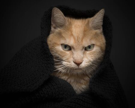 Portrait of a orange cat hiding in a black scarf on a black background