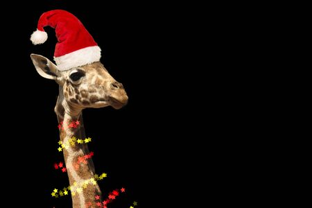 Giraffe portrait wearing the hat of santa claus and christmas tree lights on a black background