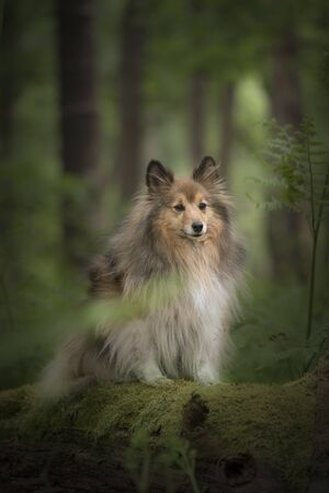 Pretty shetland sheepdog sitting in a green beautiful spring forest