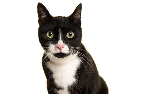Portrait of a pretty black and white cat leaning forward looking straight at the camera isolated on a white background Stock Photo