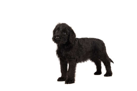 Cute standing Giant Schnauzer puppy looking up isolated on a white background