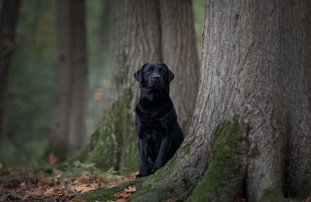 Pretty black labrador retriever hiding behind trees in a forest lane