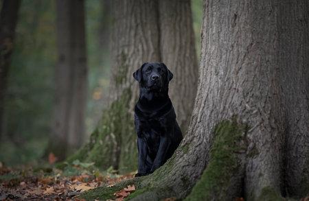 Pretty black labrador retriever hiding behind trees in a forest lane