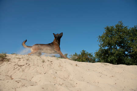 Belgian shepherd seen from the side ready to jump or catch its toy in sand dunes on a sunny day with clear sky
