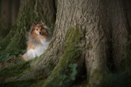 Cute shetland sheepdog sitting hiding between trees covered with moss in a green surrounding
