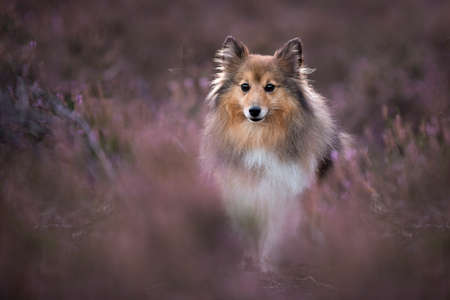 Cute shetland sheepdog sitting between blooming heather looking at the camera