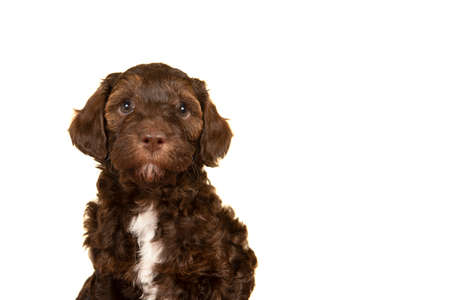 Portrait of a cute brown labradoodle puppy looking at the camera isolated on a white background with space for copy